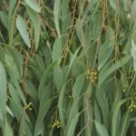 Eukaliptusovo ulje i njegove dobrobiti za zdravlje