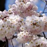 Cvet trešnje pospešuje zdravlje kože