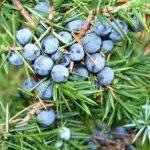 Kleka- biljka koja leči mnoge bolesti