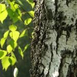 Evo za šta sve možete da koristite brezu