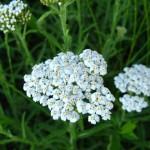 Kunica- čudotvorna biljka