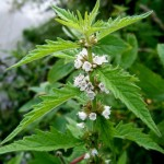 Biljka koja će vam pomoći kod problema štitne žlezde