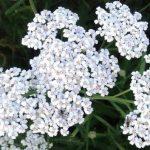 Hajdučka trava- lekovita svojstva