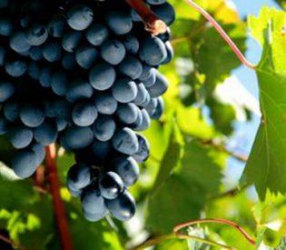 Šta sve leči list vinove loze