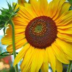 Uvrstite suncokretove semenke u ishranu (+RECEPT za zdrav obrok)