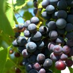 Doterajte liniju sa grožđem na ovaj način