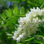 Lekovite strane bagremovog cveta