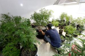 Marihuana-kanabis1